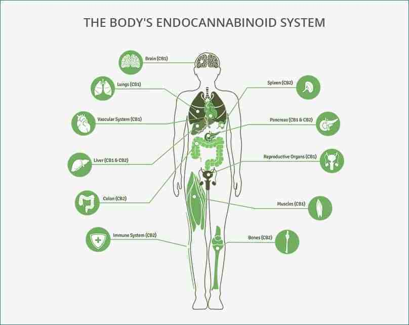 The Body's Endocannabinoid System or ECS